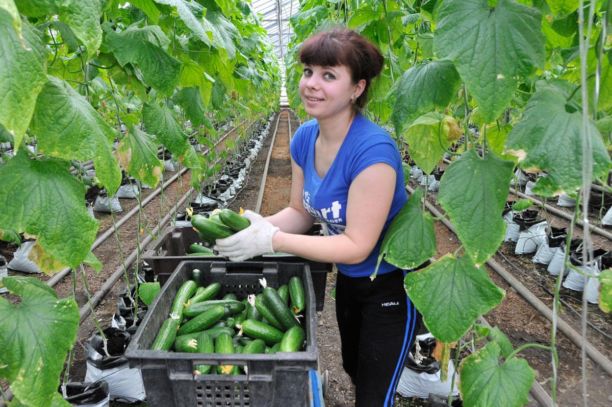Выращивание огурцов в теплице затраты 18